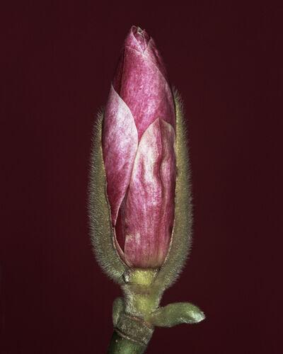 Helene Schmitz, 'Magnolia x soulangiana bud', 2003
