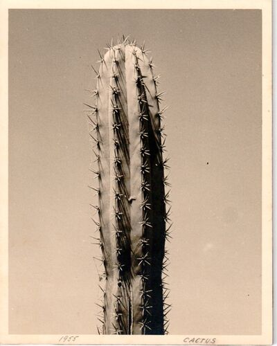Alfredo Cortina, 'Cactus', 1955