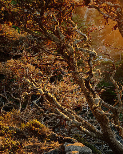 Kenneth Parker, 'Cypress, Lace Lichen and Trentepholia, Point Lobos State Reserve, California'