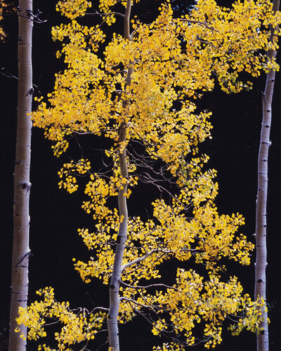 Christopher Burkett, 'Graceful Aspen, Colorado', 2005