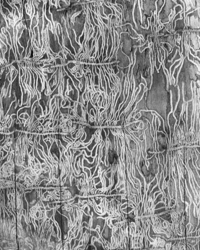 Katherine Wolkoff, 'Bark Beetle I, Scolytus Multistriatus', 2016