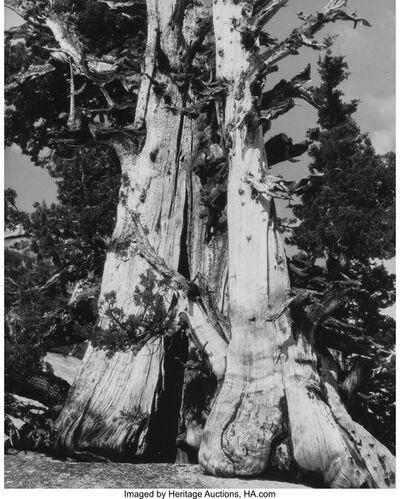 Brett Weston, 'Untitled (Trees)', circa 1940s