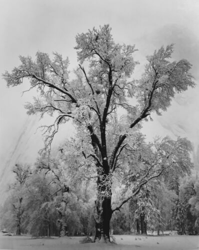Ansel Adams, 'Oaktree, Snowstorm, Yosemite National Park, CA', 1948