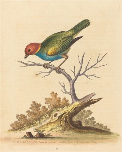 George Edwards, 'The Red-Headed Finch from Surinam', 1741