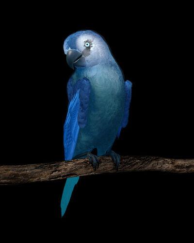 Dominic Harris, 'Spix Macaw | Ruffled', 2017