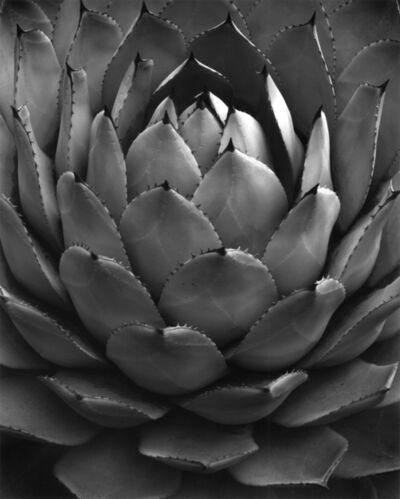 Don Worth, 'Succulent: Agave Parryi Var, Huachucensis, California', 1969