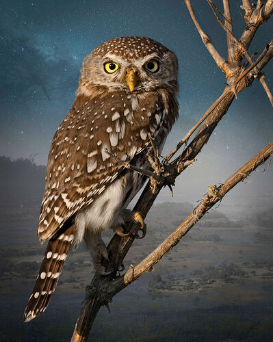 Cheryl Medow, 'Pearl - Spotted Owlet', 2016