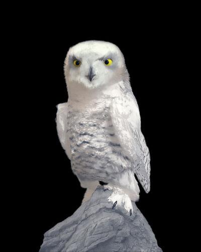 Dominic Harris, 'Snowy Owl | Ruffled', 2017