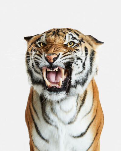 Randal Ford, 'Bengal Tiger No. 2', 2018