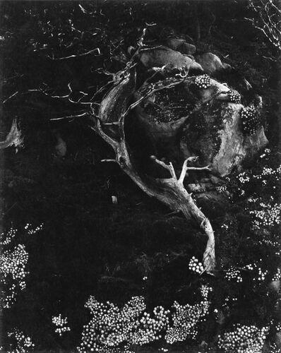 "Edward Weston, 'Cypress, Rock, Stone Crop (""Cypress and Succulents""), Point Lobos, California', 1930"