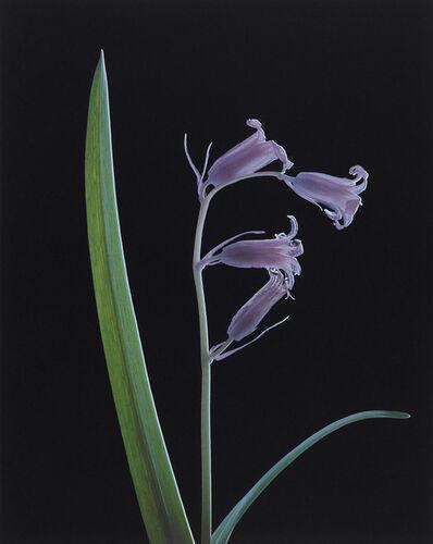 Susan Derges, 'Blue Bell (Flower) No 1', 2000
