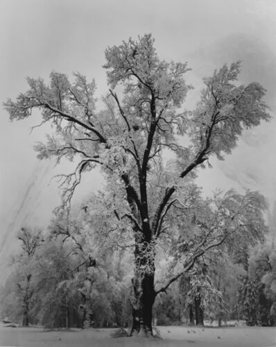 Ansel Adams, 'Oak Tree, Snowstorm, Yosemite National Park', 1948