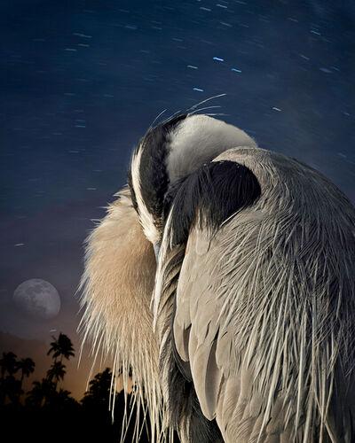 Cheryl Medow, 'Great Blue Heron at Rest', 2014