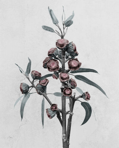 Vee Speers, 'Eucalyptus globulus', 2016