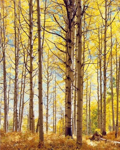 Christopher Burkett, 'Translucent Forest, Colorado', 2003
