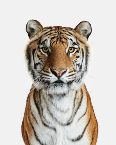 Randal Ford, 'Bengal Tiger No. 1', 2018