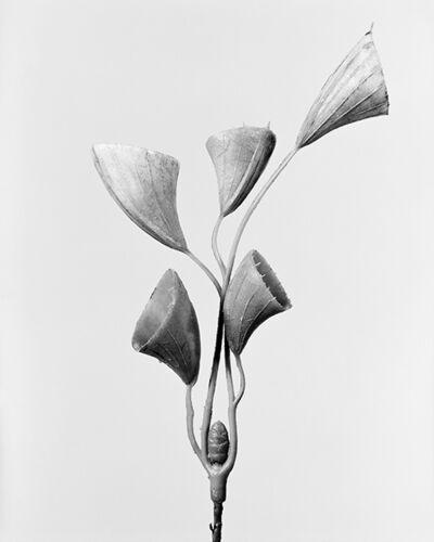 Robert Voit, 'Cornucopiae cucllatum/ Trichtergras Busch', 2014