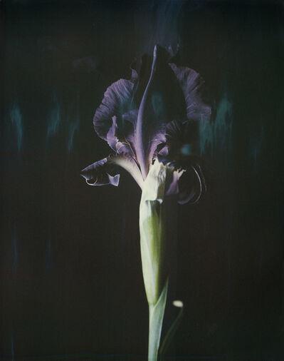Ori Gersht, 'Iris atropurpurea P06', 2018