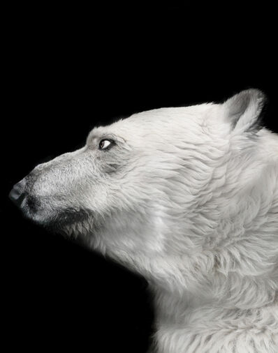 Michael Duva, 'Polar Bear Profile', 2008