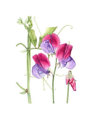 Christine Battle, 'Sweet Pea (Lathyrus odoratus)', 2019