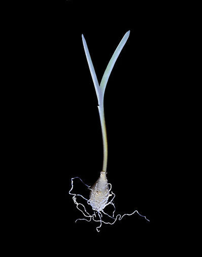 Susan Derges, 'Bluebell (Bulb No.1)', 2000