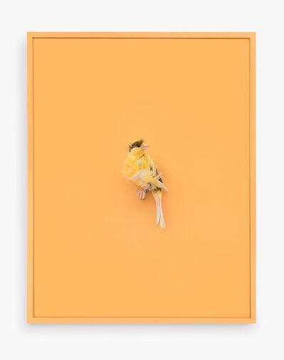 Daniel Handal, 'Yellow Parisian Frilled Canary (Acqua Santa)', 2017