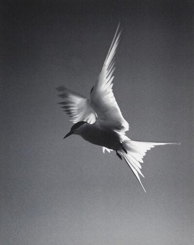 Eliot Porter, 'Arctic Tern', ca. 1936