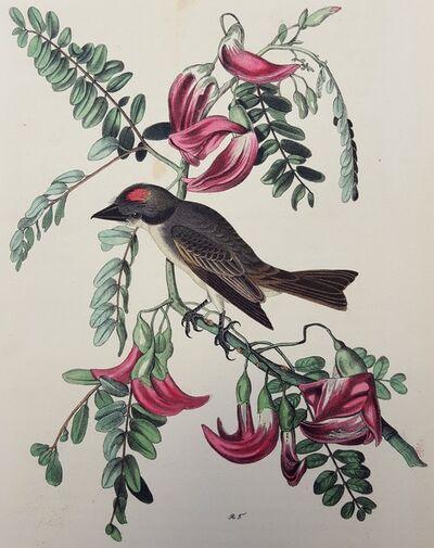 John James Audubon, 'Pipiry Flycatcher', 1840-1844