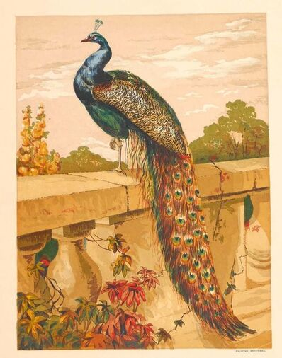 Unknown, 'A Peacock', 1870/80's