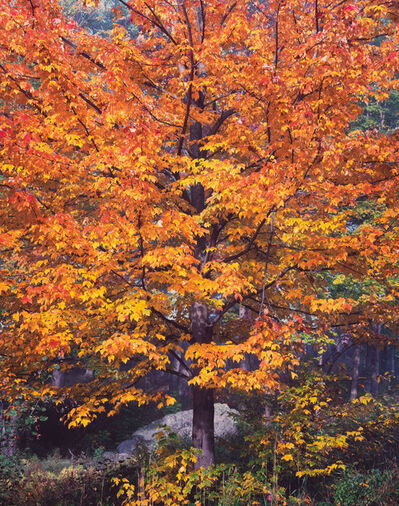 Christopher Burkett, 'Illuminated Sugar Maple, Vermont', 1989