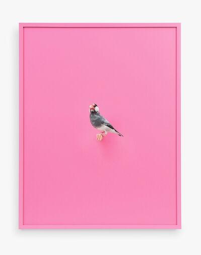 Daniel Handal, 'Java Rice Finch (Bubble Gum)', 2017