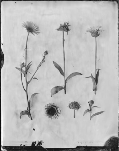 Emilija Petrauskiene, 'Calendula Officinalis (Marigold)', 2018