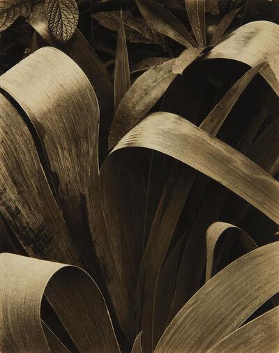 Paul Strand, 'Iris, Georgetown, Maine', 1928