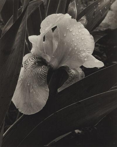 Alma Lavenson, 'Iris', 1932