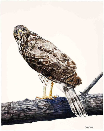 Carol Dawson, 'Young Cooper's Hawk on Guard', 2018