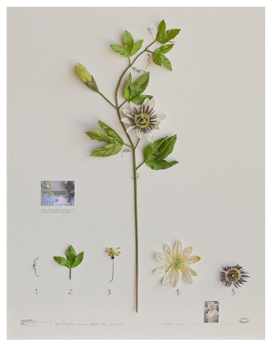 Alberto Baraya, 'Expedição Califórnia: Passiflora Monroe', 2012