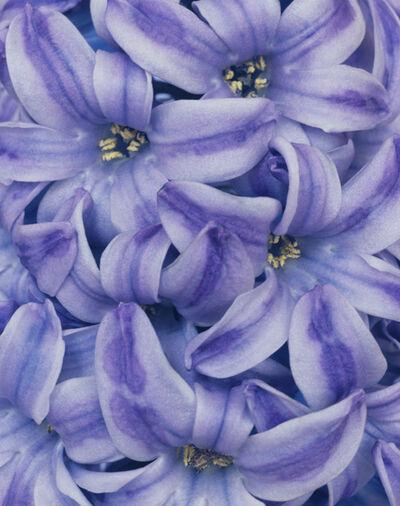 Ron van Dongen, 'Hyacinthus 'Blue Pearl' (CSL 101)', 2005