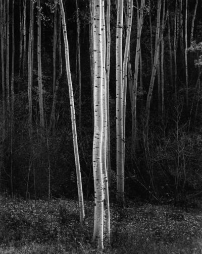 Ansel Adams, 'Vertical Aspens, Northern NM, 1958', 1958