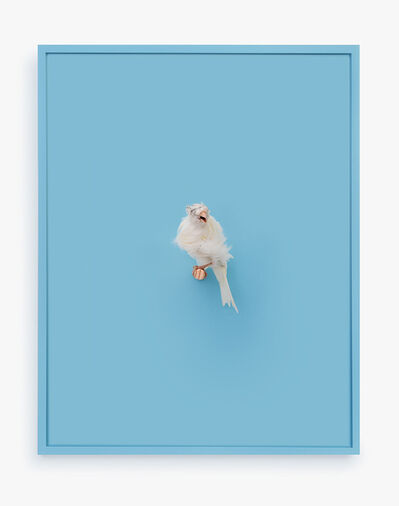 Daniel Handal, 'White Parisian Frilled Canary (New Age)', 2017
