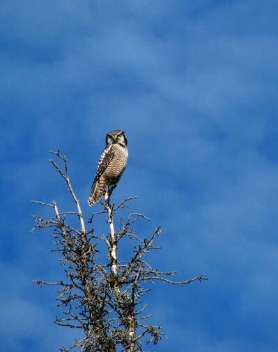 Finella Pescott, 'Northern Hawk'