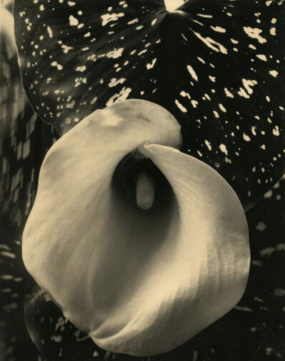 Edward Steichen, 'Calla Lily', ca. 1921