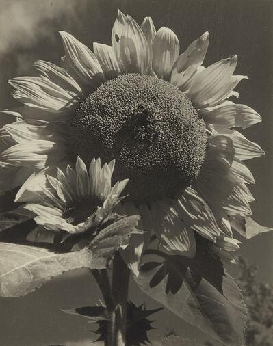 Consuelo Kanaga, 'Sunflower', 1942