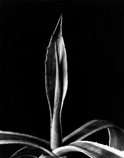 Imogen Cunningham, 'Agave, 1920s', 1991