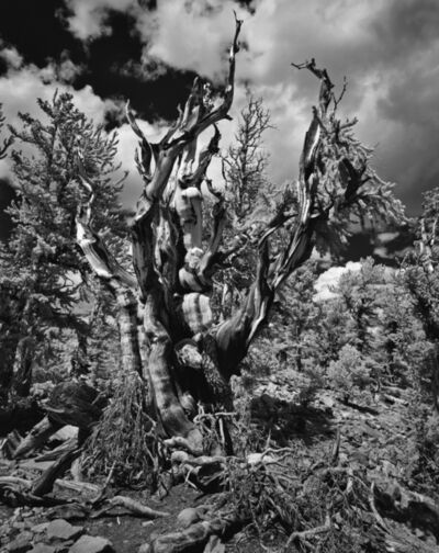 Cody S. Brothers, 'Great Basin National Park – Bristle Cone Pine', 2019