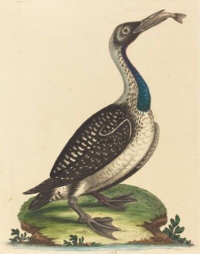 George Edwards, 'Black and White Water-Fowl with Blue Throat'