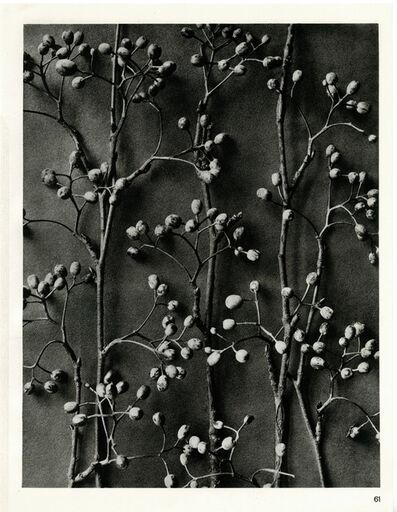 Karl Blossfeldt, 'Plate 61- Pirus alnifolia', 1932