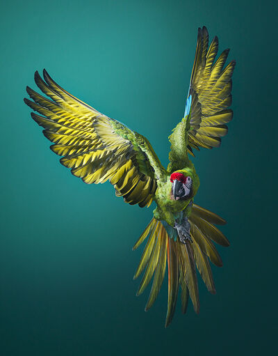 Tim Flach, 'Military Macaw Flying Front On', ca. 2016