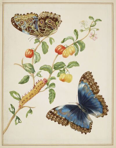 Maria Sibylla Merian, 'Branch of West Indian Cherry with Achilles Morpho Butterfly ', 1702-1703