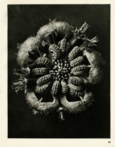 Karl Blossfeldt, 'Plate 84- Calendula officinalis', 1932