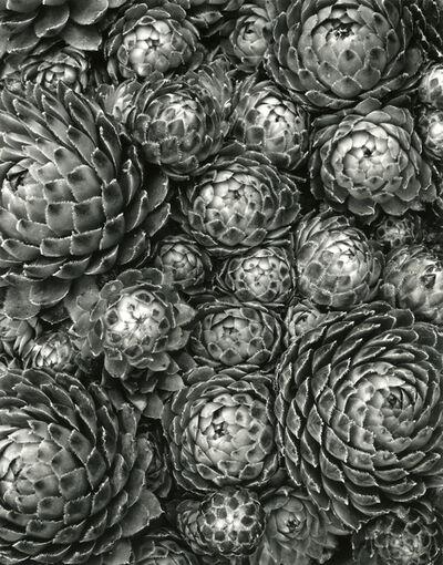 Don Worth, 'Succulent: Sempervivum Soboliferum, California', 1974